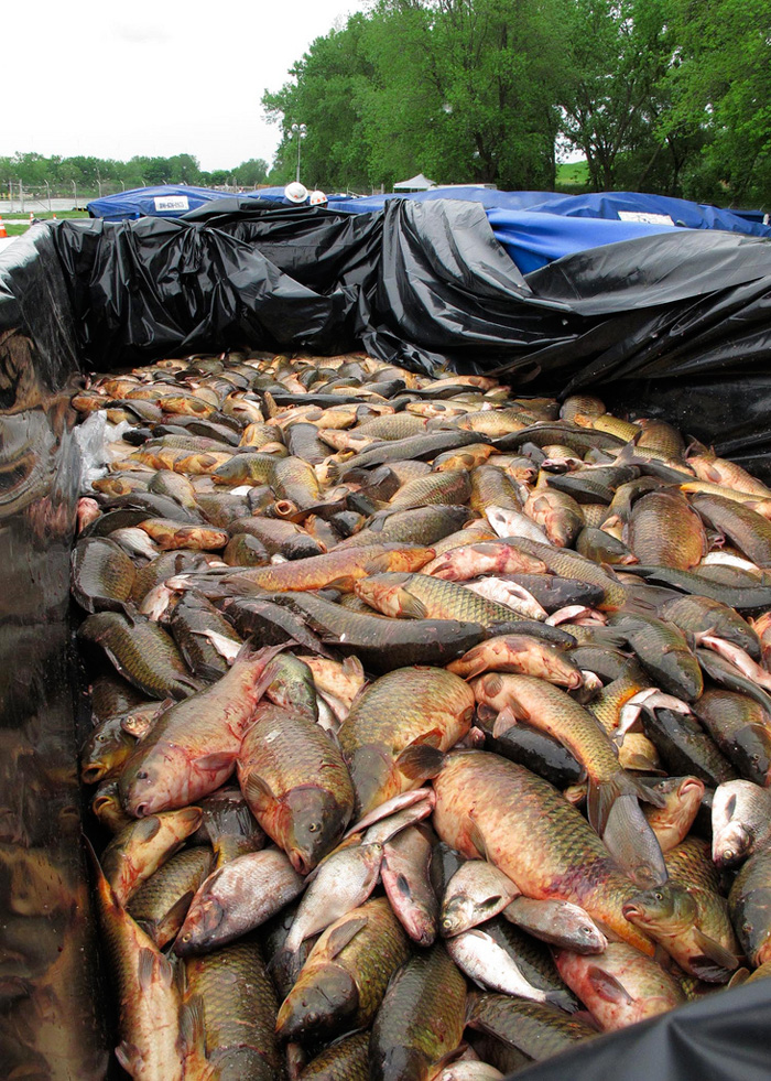 asian carp the invaders essay