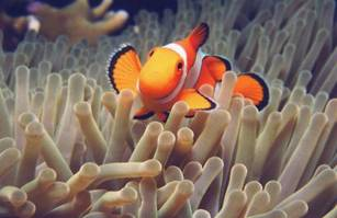 mutualism examples sea anemone and clownfish symbiotic relationship