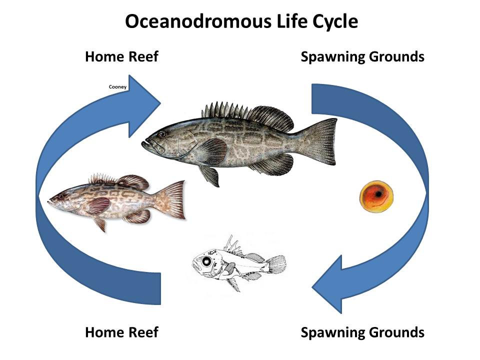 Anadromous catadromous amphidromous oceanodromous or for Fish life cycle
