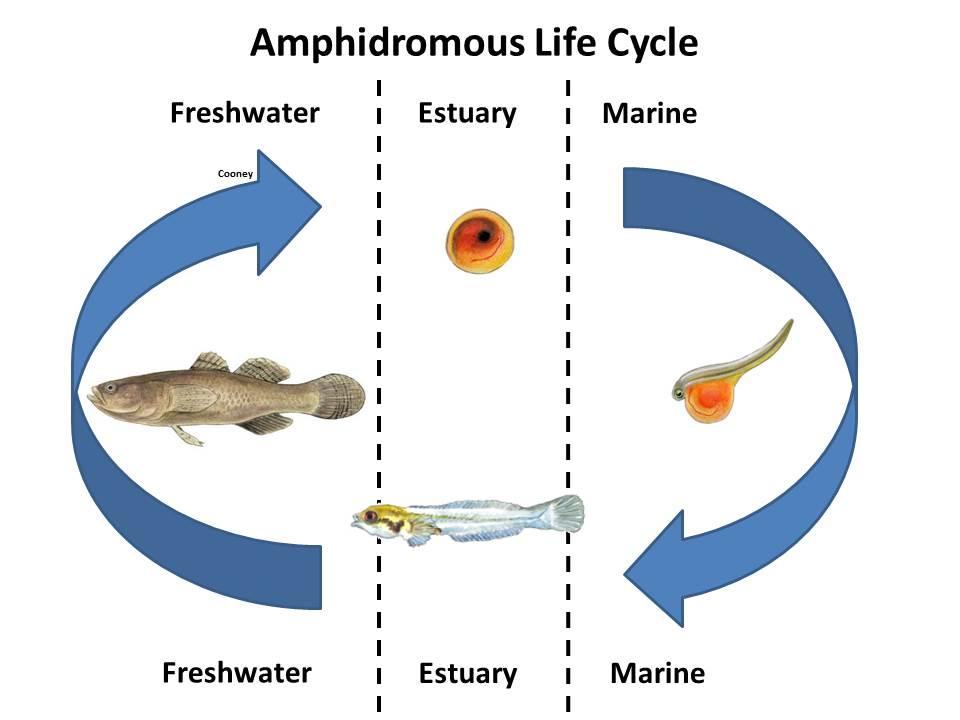 Anadromous Catadromous Amphidromous Oceanodromous Or