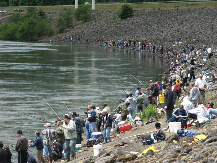 American shad invading the west the fisheries blog for Bonneville dam fish count