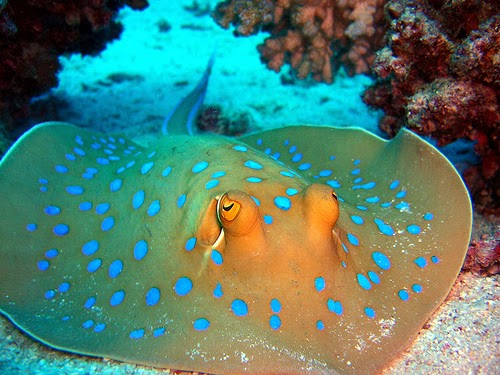 Top 5 most poisonous fish the fisheries blog for Is a stingray a fish