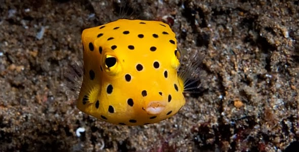 Puffer Fish Images Color