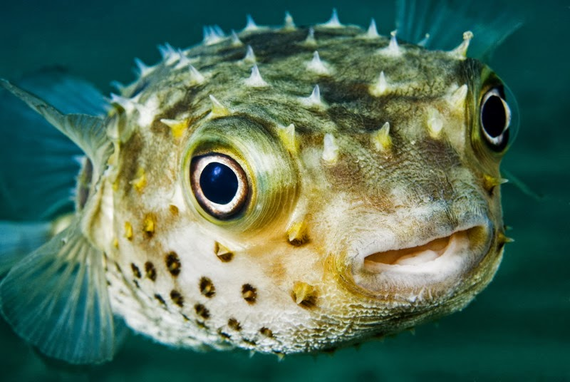 Top 5 Most Poisonous and Venomous Fish! – The Fisheries Blog