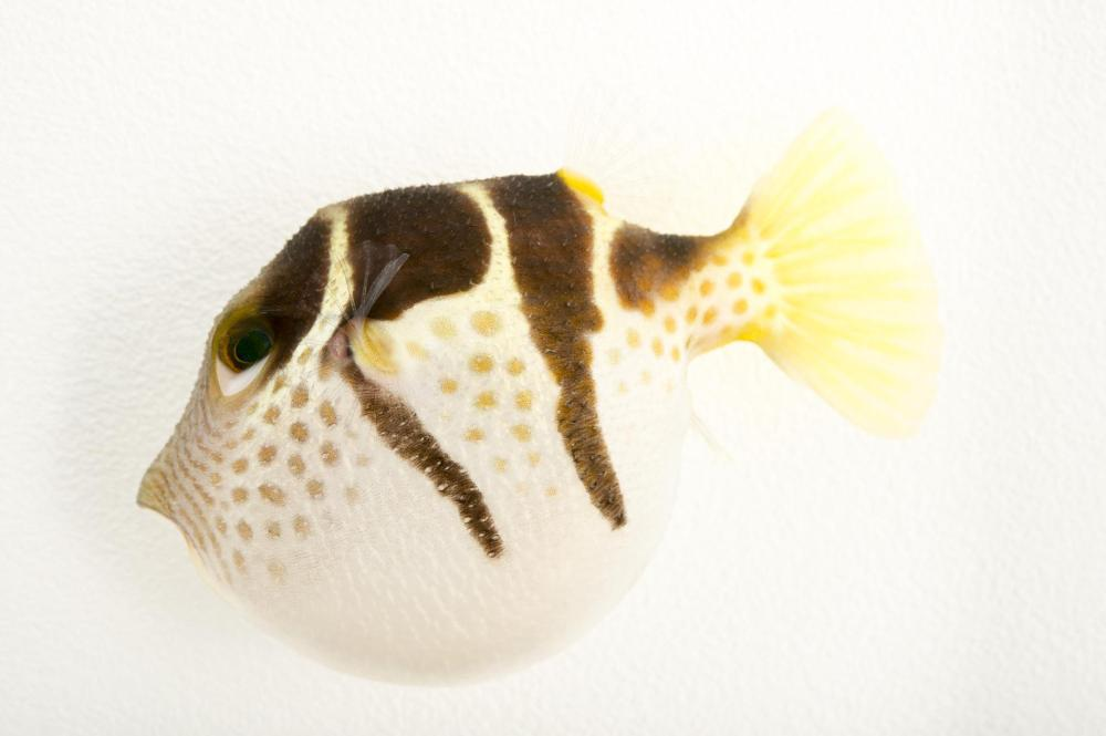 pufferfish_04.adapt.1900.1