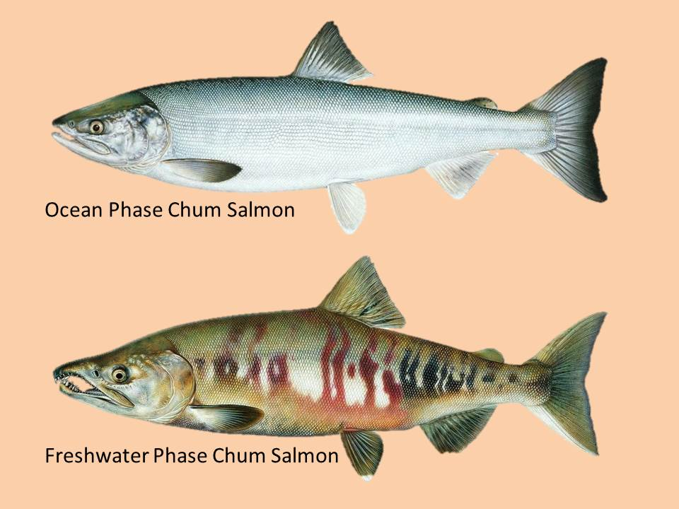 Salmon metamorphose as they migrate from saltwater into freshwater to spawn.