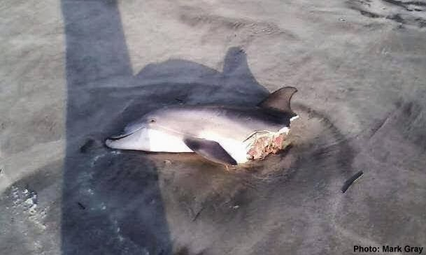 Dolphin Deaths a Boon for Sharks? | The Fisheries Blog