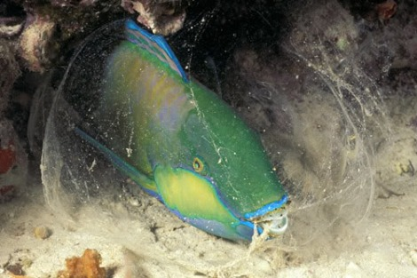 "Some parrotfish create their own ""mosquito net"" to sleep without risk of parasites.  Photo © Doug Perrine/SeaPics.com"