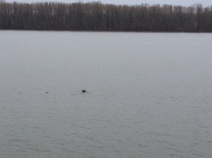 Sea Lion Columbia River