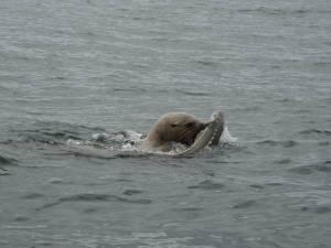 Sea Lion Sturgeon