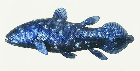 coelacanth-latimeria-chalumnae_48064_2