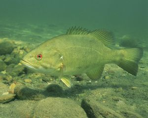 Will Smallmouth Bass be invasive if their range expands because of climate change?