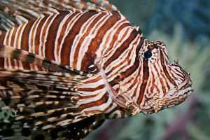 Lionfish are invasive species in the Atlantic, Caribbean, and Gulf of Mexico.