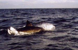 Curtis Shark Dorsal