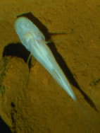 Blind Cavefish may turn a blind eye for you.
