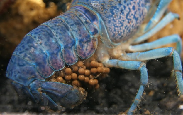 River roaches: The Quest to Better Understand Crayfish ...