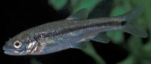 Feel like a fish out of water?  Longfin Dace are...sometimes (W. Radke).