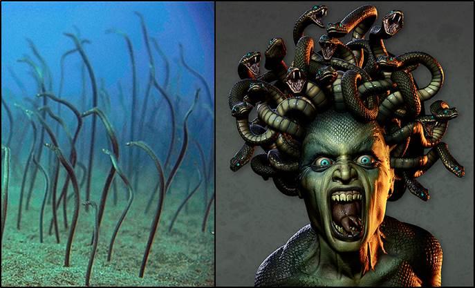 Garden Eel Medusa (2)