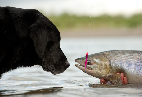 Raw salmon linked to death in dogs the fisheries blog for Raw fish for dogs