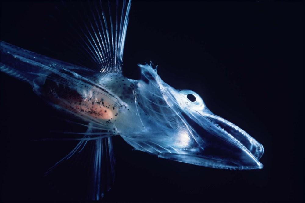Icefishuk