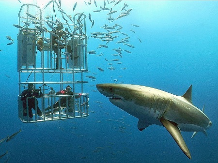 white-shark-diving-in-guadalupe-island