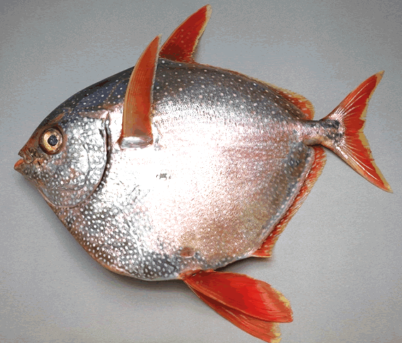 Why are fish cold blooded the fisheries blog for Warm blooded fish