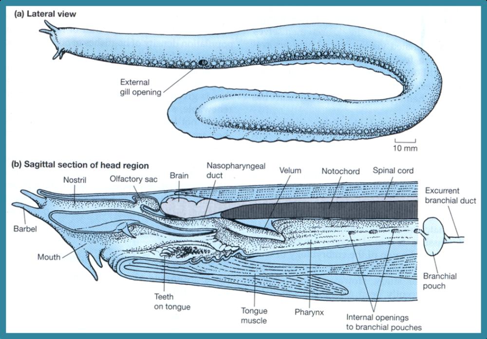 hagfish anatomy