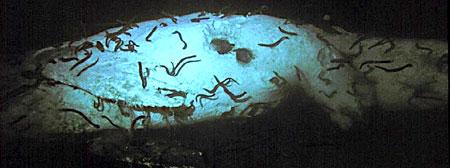 hagfish on whale