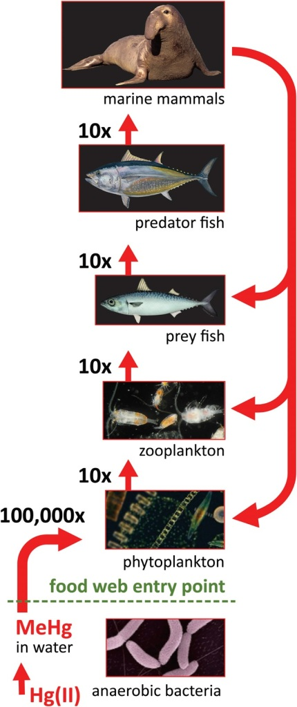 Where does the mercury in our fish come from the for Does fish have mercury