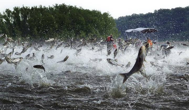 Jumping carp (Source: Gulfseafoodnews.com)