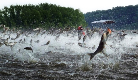 Jumping carp (Source: Gulfseafoodnews.com)