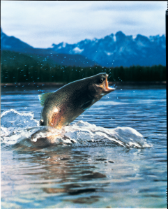 Insects are a part of the natural diet of some fish like this rainbow trout, but not typically a component of the diet of aquaculture fish (Clear Springs Foods Inc.).