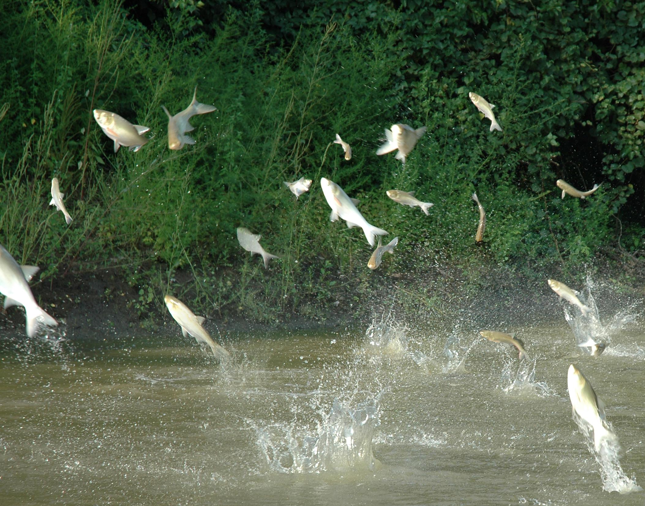 Freshwater fish jumping - Jumping Carp Source Http Www Glfc Org