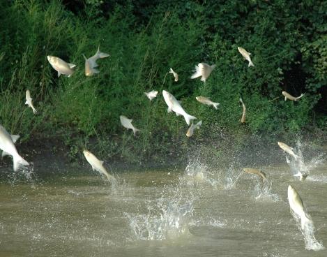 Jumping carp (Source:http://www.glfc.org)