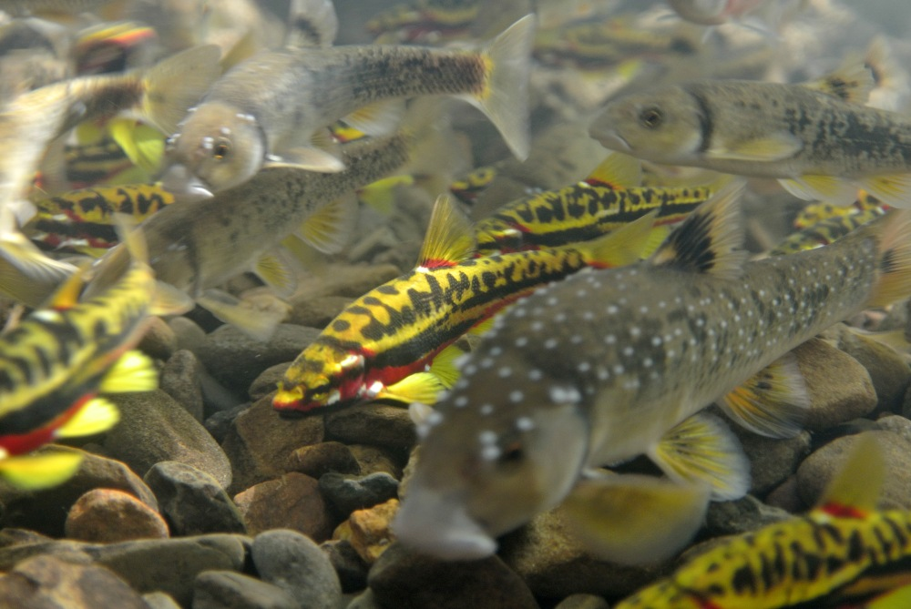 Nest association behaivor is nearly obligate for Mountain redbelly dace (yellow and red), but it's more flexible for Central stoneroller (gray). Stonerollers usually start spawning a couple weeks before chubs, and can dig their own nests (see video below). They may also prey on eggs from chub nests. Photo by B. Peoples