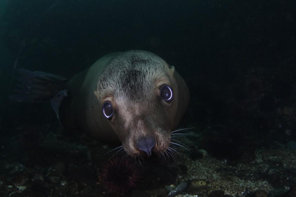 http://scubananaimo.ca/wp-content/uploads/2014/10/Sea-Lion-e1413184394357.jpg