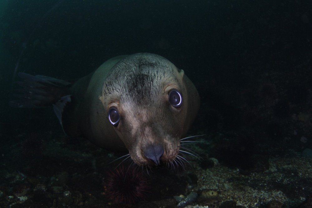 http://scubananaimo.ca/wp-content/uploads/2014/10/Sea-Lion-e1413184394357.jpg