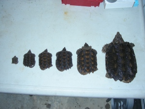 Alligator Snapping Turtles ranging from hatchling to 5 years old. Source: Craig Springer