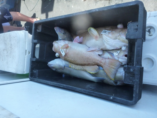 "Legal size grouper fill a crate, unlike the undersized red grouper in Yates ""evidence"" crates. Source"