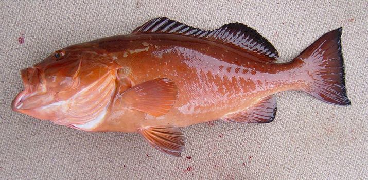 Red Grouper tastes delicious. Source