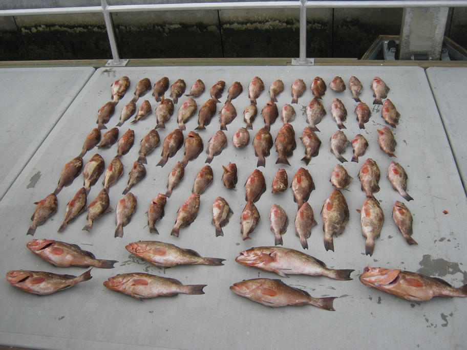 68 undersized red grouper from another case of fish poaching. Source