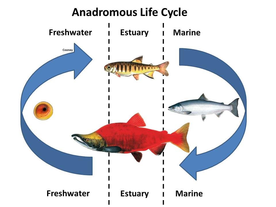 Anadromous Life Cycle