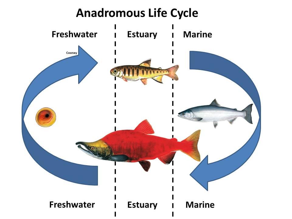 Anadromous Life Cycle