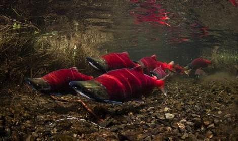 Sockeye Salmon may be resilient to climate change because of high genetic diversity.