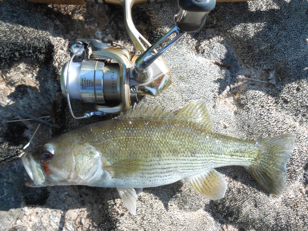 Redeye Bass