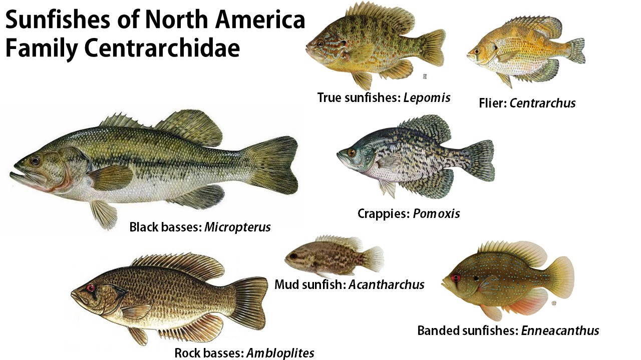 Perch bream and sunfish what s the difference article for What kind of fish am i