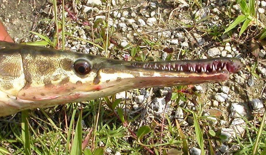 fishblog-gar-flg-1