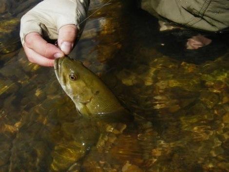 Neosho Smallmouth Bass