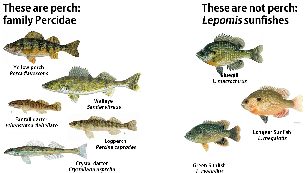Image result for Bluegill vs Sunfish: Appearance