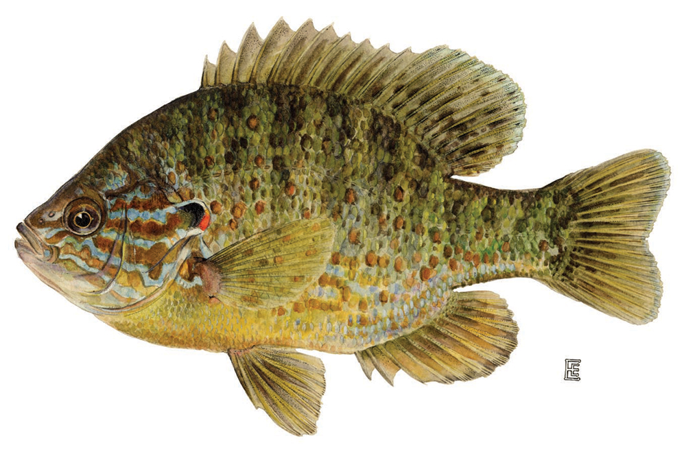 Perch bream and sunfish what s the difference article for Sun perch fish